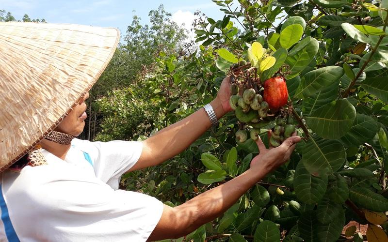 """Bình Phước: Nông dân thắng to vụ điều, lá rụng xuống không vứt đi, gom lại ủ mục cho cây """"ăn"""""""