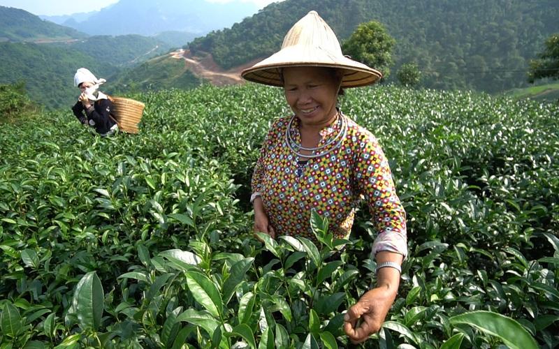 Tuyên Quang: Loài cây chỉ lấy lá đun nước, mọc tít trên núi cao, vì sao được Thủ tướng chọn làm quà tặng?