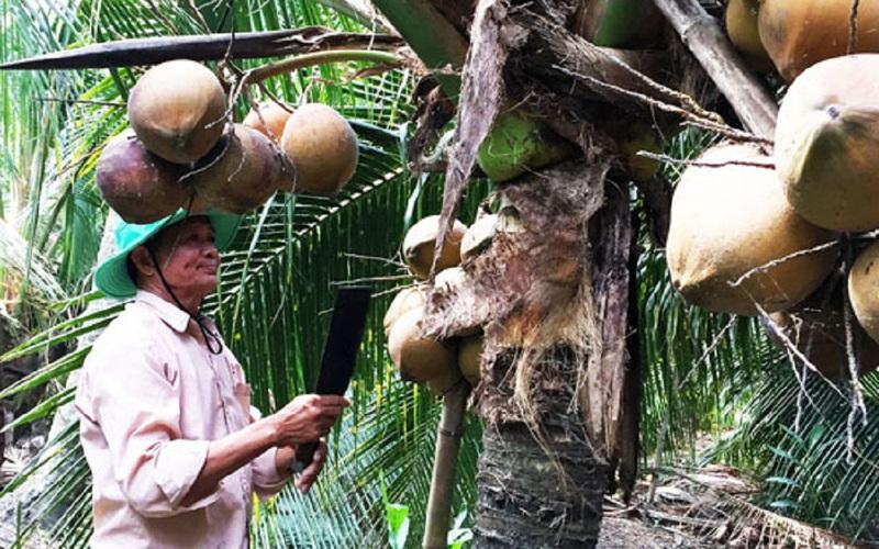 Tiền Giang: Mới bội thu giá lúa, dân vùng hạn mặn lại hốt bạc nhờ trái ra từng chùm, ruột đầy nước ngọt