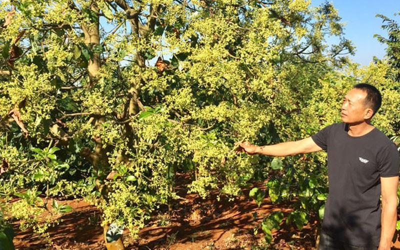 """Đắk Lắk: Bỏ cà phê già, ông nông dân này bèn trồng """"lung tung"""" 2 cây gì mà thu tiền tỷ, ai cũng khen"""