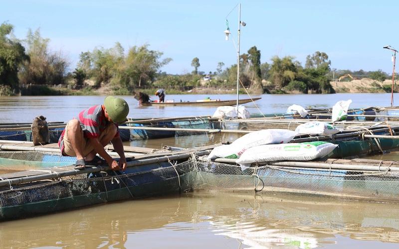 Đắk Nông: Nuôi cá lồng ven sông Krông Nô, vừa nuôi vừa run, miếng ăn tới miệng có khi còn mất