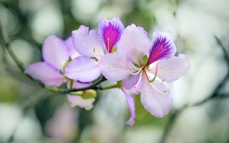 Sơn La: Rực rỡ sắc hoa ban nở trắng phố phường