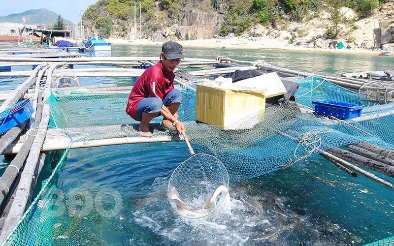 Bình Định: Nuôi loài cá chua trên biển mặn mà ăn lại ngọt lừ, ông nông dân vui như Tết vì điều bất ngờ này