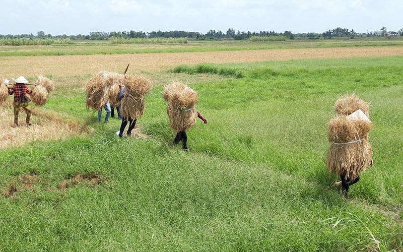 Bến Tre: Vì sao nông dân vùng đất này không thuê máy gặt mà bỏ nhiều tiền hơn thuê người cắt lúa bằng tay?
