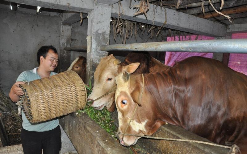 """Trai 9X người Mông xây """"biệt thự"""" cho bò khổng lồ, đẹp hơn cả nhà ở, kiếm đều đặn trăm triệu mỗi năm"""