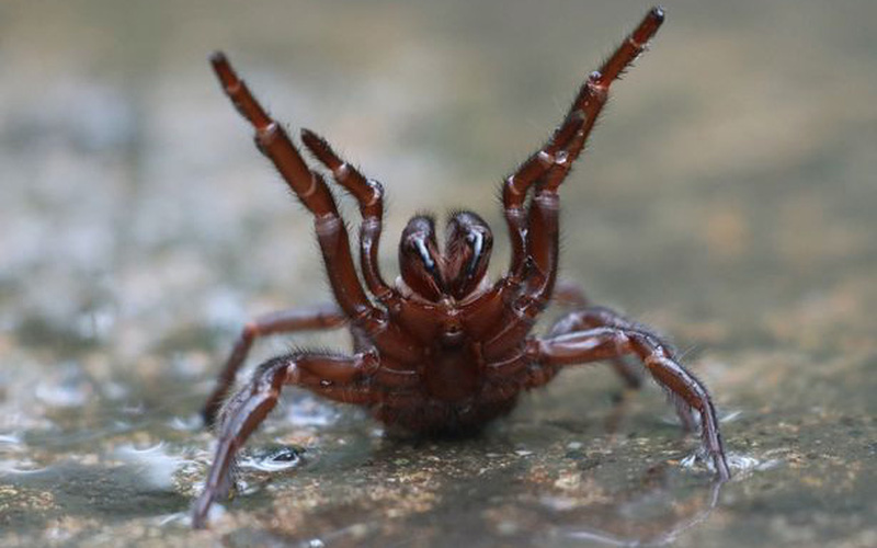 """Dân Úc phải gánh chịu """"cơn mưa"""" nhện độc"""