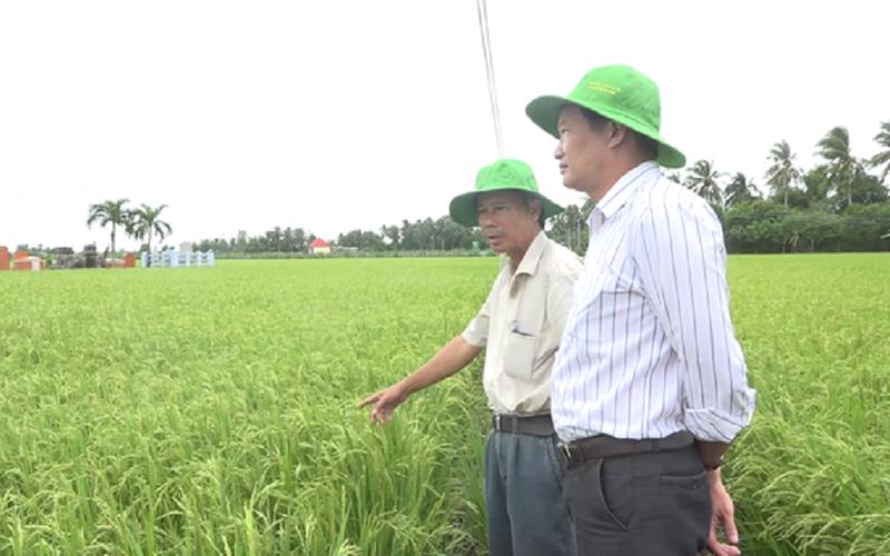 Tiền Giang: Né hạn mặn, nông dân vùng này trồng lúa hữu cơ bán cho châu Âu và thu lãi lớn