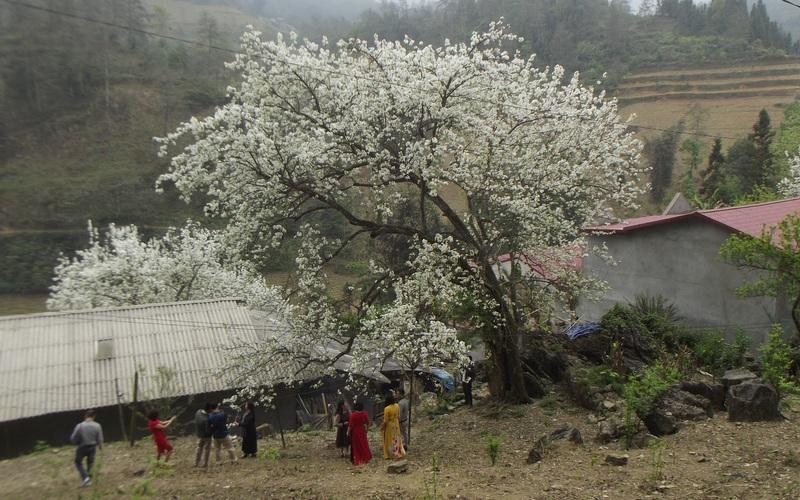 Lào Cai: Du khách kéo đến ngắm 3 cây lê cổ thụ, nở hoa trắng xóa sau nhà trình tường ở Bắc Hà