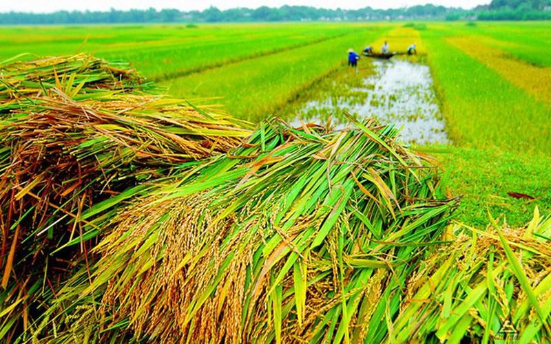 Đồng Tháp: Vì sao nông dân chưa mặn mà với bảo hiểm cây lúa?