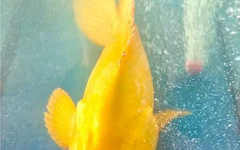 Âm thầm thả cá mú vàng về biển, dù được trả giá hàng trăm triệu đồng