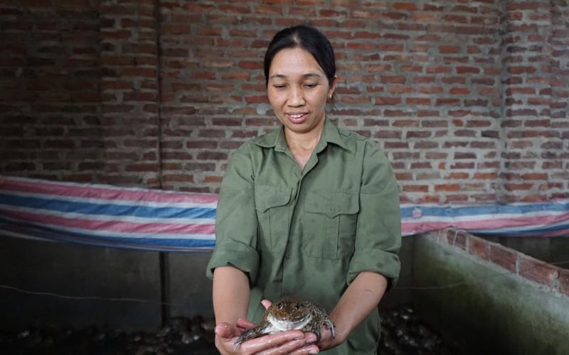 Hà Nội: Nuôi ếch trên cạn, cho ếch ăn tỏi con nào cũng khỏe như vâm, nuôi 10 tấn ếch vẫn bán hết veo