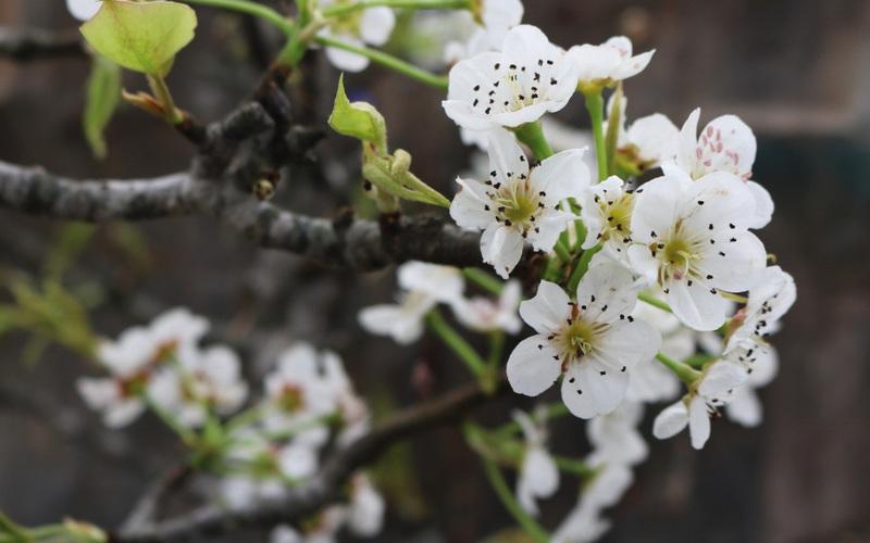 Người dân Hà Nội chen chân mua loài hoa trắng tinh khôi trưng nhà níu giữ sắc xuân