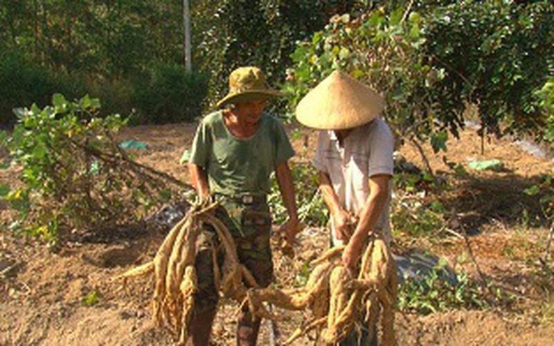 Đồng Nai: Trồng loại dây dại, rễ biến thành củ trên vùng đất xám, anh nông dân nhanh chóng giàu to