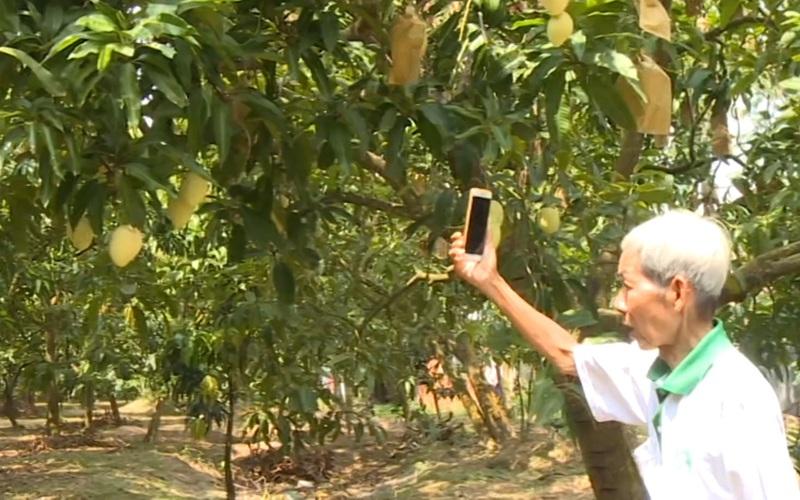 Gặp lão nông hơn 70 tuổi bảo hành cho trái xoài Cao Lãnh