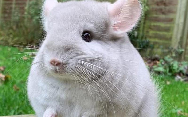 Sóc chuột Chinchilla - loài động vật đáng yêu nhất thế giới