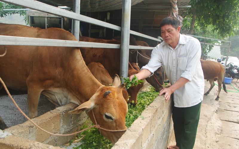 """Sơn La: """"Biến"""" bò gầy giơ xương thành bò béo mập, một ông nông dân kiếm hơn nửa tỷ mỗi năm dễ như ăn kẹo"""