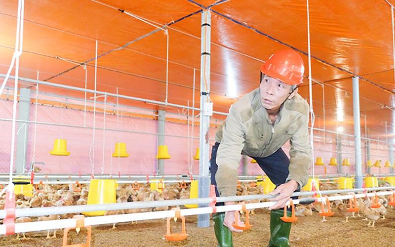 Quảng Trị: Nuôi gà trong trại lạnh công nghệ cao, vì sao ông nông dân này chỉ lo nuôi, không lo bán?