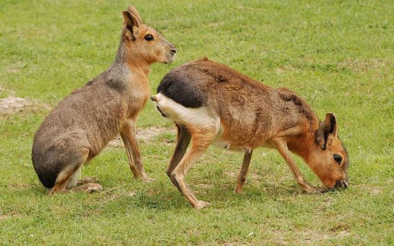 Loài chuột lang cao 3 feet, sở hữu tốc độ lên tới 45 dặm/h