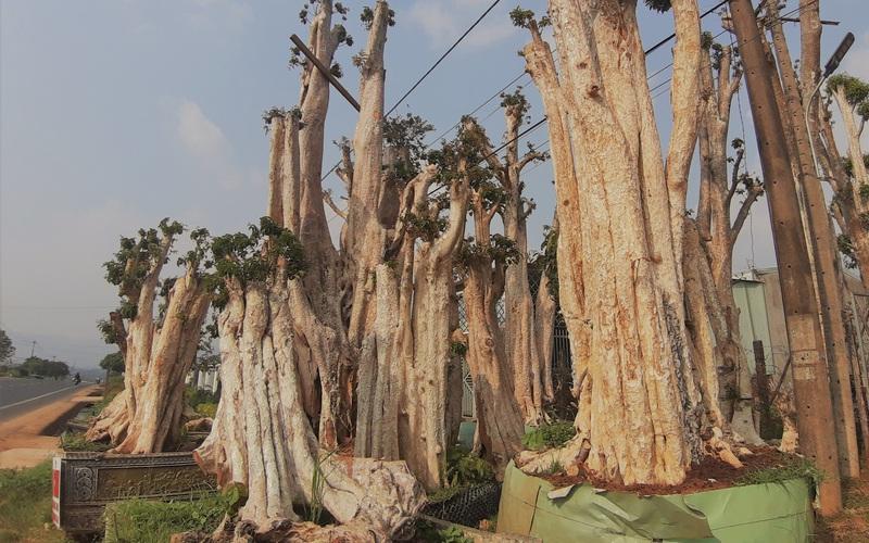 """Cục Kiểm lâm đề nghị kiểm tra, xử lý thông tin sau loạt bài """"Thủ đoạn hô biến những cánh rừng cổ thụ"""""""
