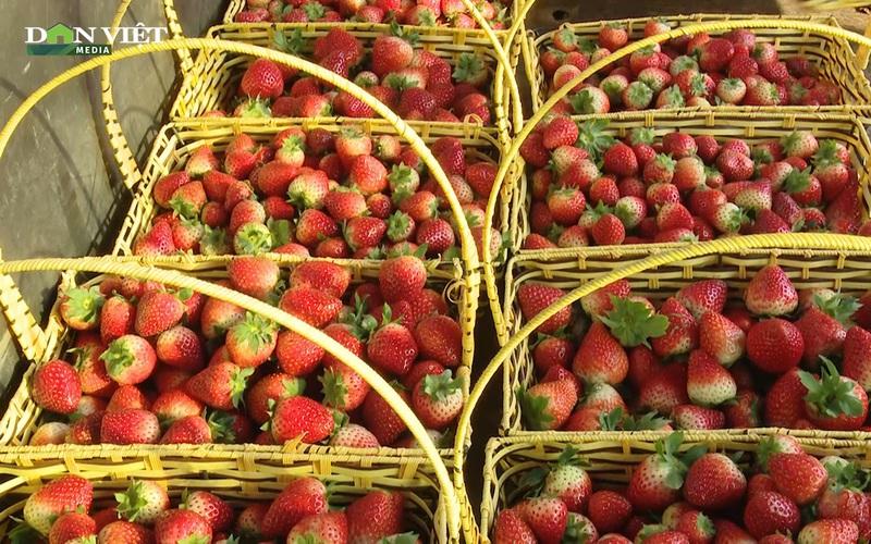 Trồng dâu tây trên núi, nông dân Sơn La thu chục tỷ mỗi năm