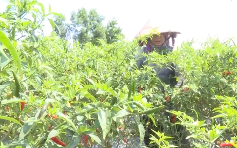 Quảng Ngãi: Giá ớt chạm đáy, nông dân thấp thỏm đợi giá tăng trở lại