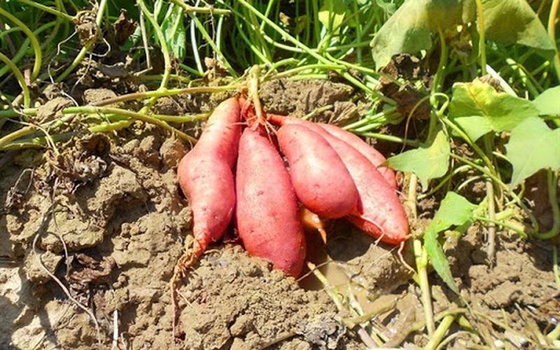 Khoai lang trồng theo chuẩn VietGAP có gì đặc biệt?