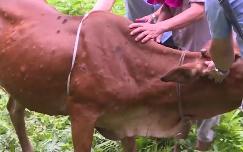 Yên Bái: Bệnh viêm da nổi cục trên đàn bò xuất hiện ở huyện Lục Yên