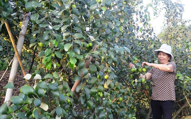Tuyên Quang: Trồng táo ở Động Tiên, cây nào cũng trĩu quả, nhà nông khá giả hẳn lên