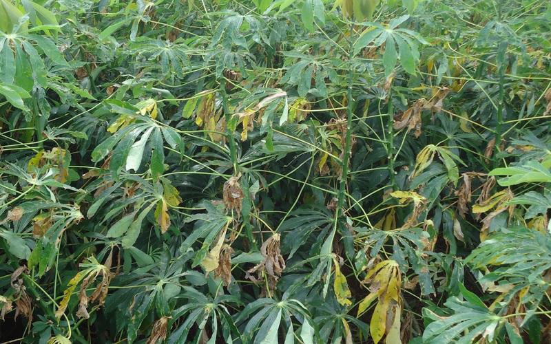 Thừa Thiên Huế: Nông dân Quảng Điền gặp khó khăn do dịch bệnh khảm lá sắn