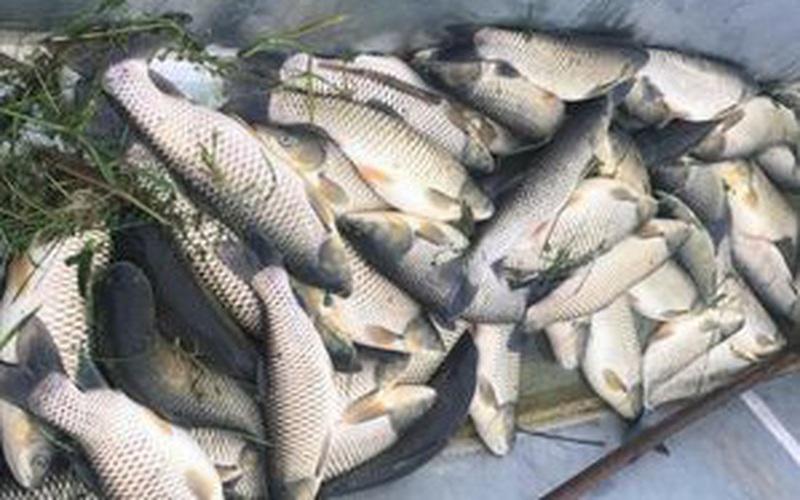 Hàng chục tấn cá lồng đặc sản sông Lô chết bất thường