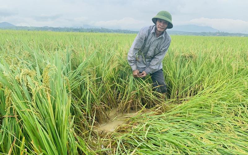 Hàng nghìn ha lúa ở Bắc Trung Bộ nguy cơ mất trắng: Cục Trồng trọt ra thông báo khẩn