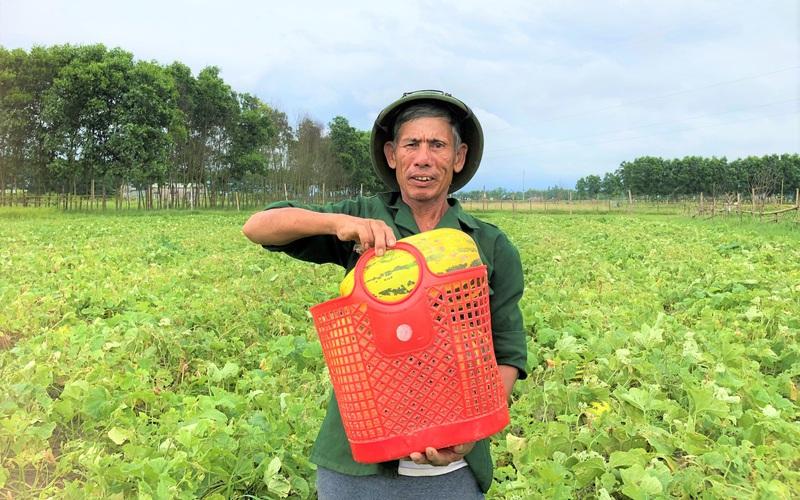 """Hà Tĩnh: Nông dân trồng giống dưa quả tròn to, vàng óng ánh """"thơm nức mũi"""", ai ăn cũng gật gù khen ngon"""