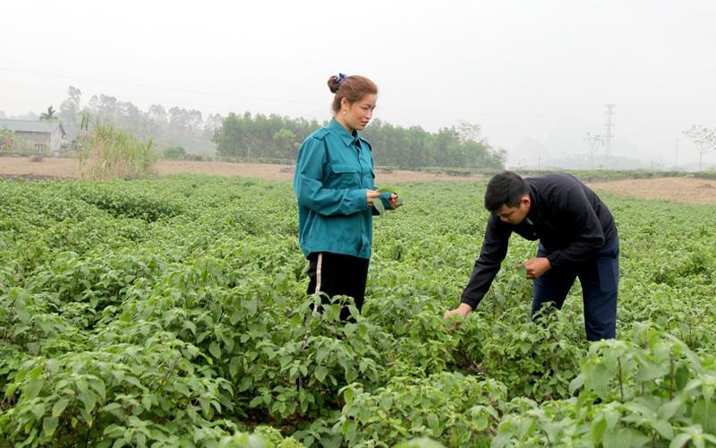 Trồng thứ cây cho mùi thơm, thu lãi cao gấp 3-4 lần trồng ngô, sắn, nông dân ở đây trồng không kịp bán