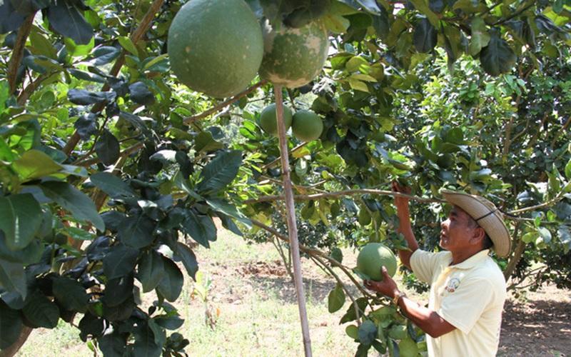 """Ninh Thuận: Vùng đất này """"ông trời tiết kiệm nước mưa"""", dân trồng bưởi da xanh trái to bự, khách đến xem bất ngờ"""