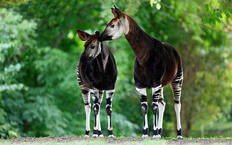 Loài động vật kỳ lạ, nửa thân dưới là ngựa vằn nhưng lại thuộc họ... hươu cao cổ