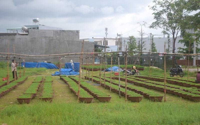"""Bình Định: Chuyện kỳ lạ xảy ra ở làng cúc Tết, nông dân """"treo chậu"""", vắng lặng khác thường"""