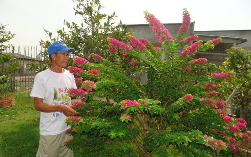 Cà Mau: Trồng mai vàng, cây hoa giấy kiểng lạ mắt, một nông dân thu hàng trăm triệu/năm