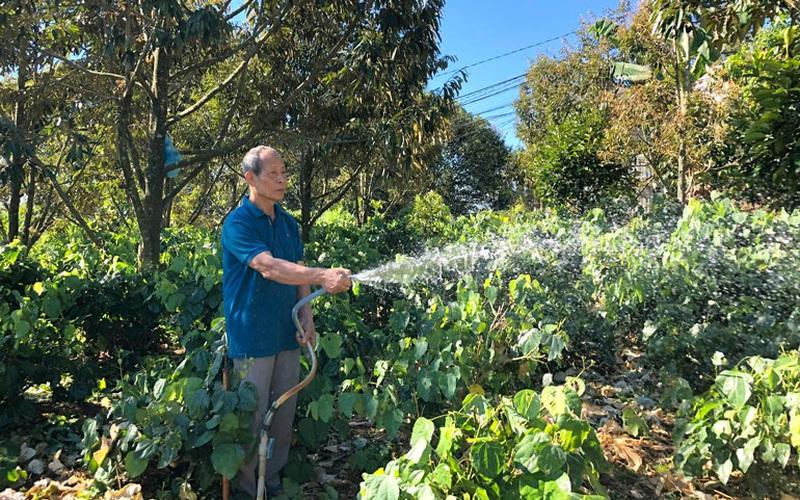Lâm Đồng: Trồng thứ rau rừng tốt bời bời trong vườn sầu riêng, cứ 1 sào nông dân thu 20 triệu/tháng