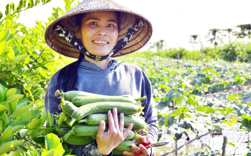 Kiên Giang: Ngắm những giàn mướp, ruộng trồng củ cải trắng đẹp như phim của nông dân