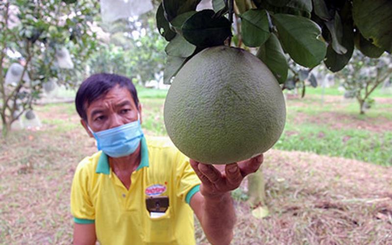 Hậu Giang: Cũng là bưởi da xanh, nhưng nông dân ở đây trồng kiểu gì để bán trái giá cao hơn thị trường?