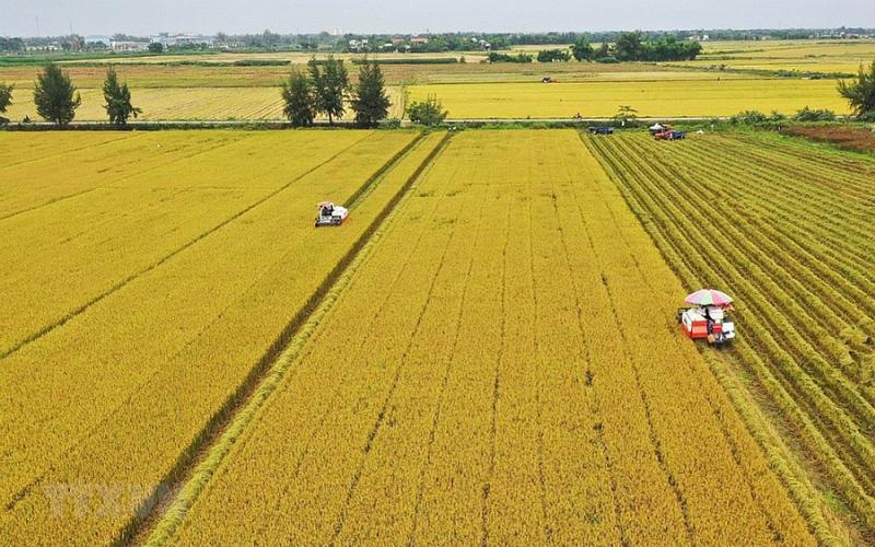 Giá lúa tăng ở mức cao