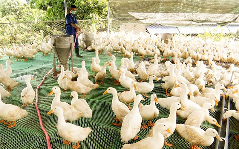 """Mới, lạ: Nuôi vịt siêu thịt trên sàn lưới, con nào cũng """"to khỏe như vâm"""", nông dân Quảng Trị bán 40.000 đồng/kg"""