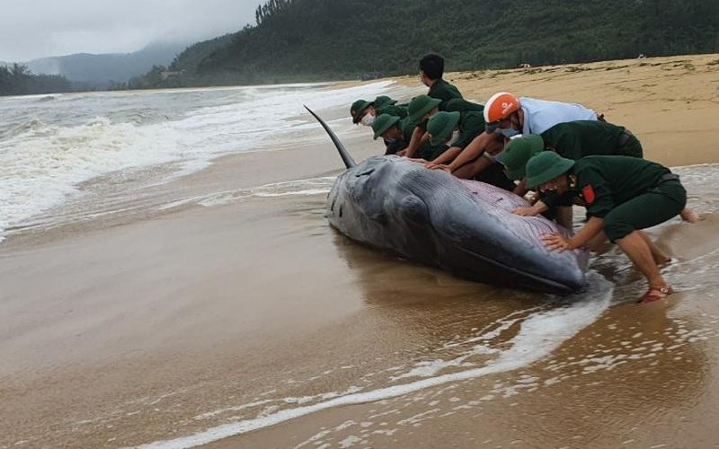 TT-Huế: Giải cứu cá voi nặng 3 tấn, dài 10m dạt vào bờ biển