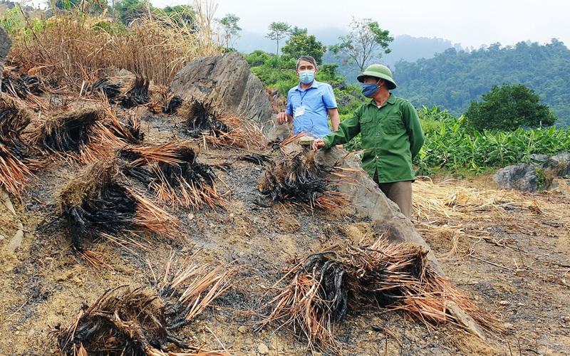 Lào Cai: Đến khổ, vì sao nông dân ở đây trồng sả bạt ngàn cả quả đồi rồi phải tự tay châm lửa đốt?