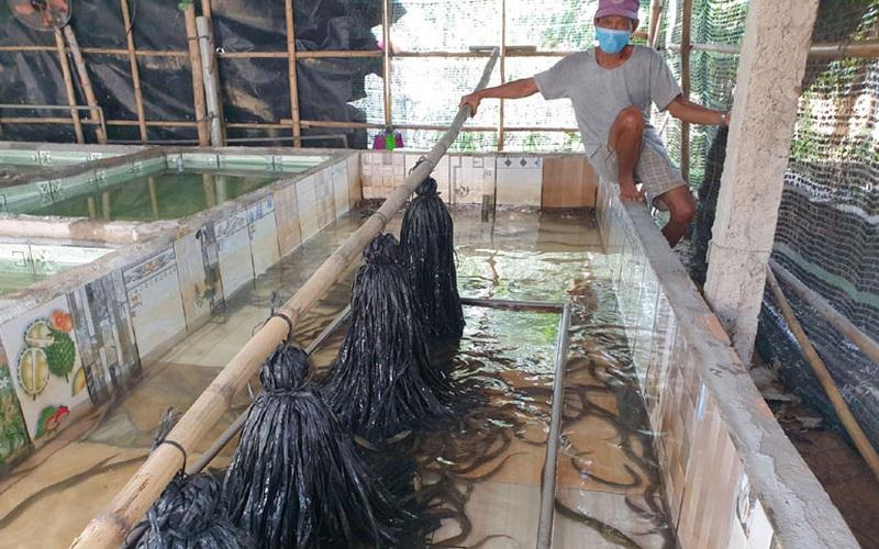 Nuôi lươn không bùn trong bể xi măng, một nông dân tỉnh Phú Yên khá giả hẳn lên