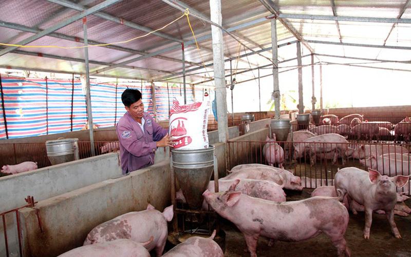 """Chủ động đàn lợn nái, các """"ông lớn"""" bán hàng nghìn con lợn mỗi ngày"""