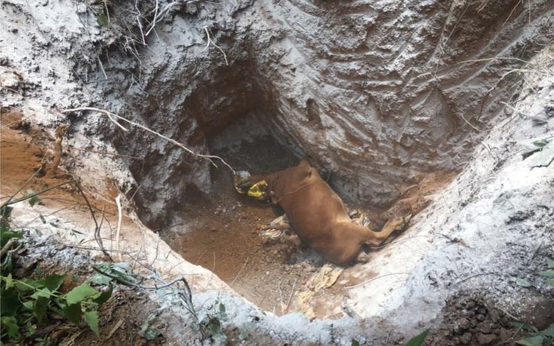 Sơn La: Tiêu huỷ 1 tấn bò bị bệnh viêm da nổi cục
