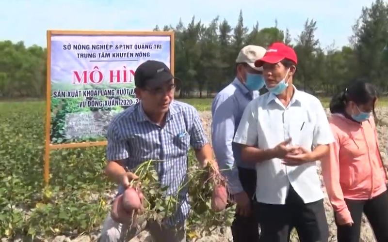 Quảng Trị trồng giống khoai lang KL20-209 trên đất cát ven biển mà mang lại năng suất bất ngờ