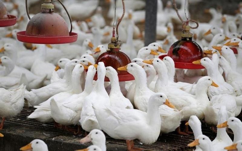 Cách người Châu Á chăn nuôi vịt lấy trứng và cận cảnh dây chuyền chế biến thịt vịt