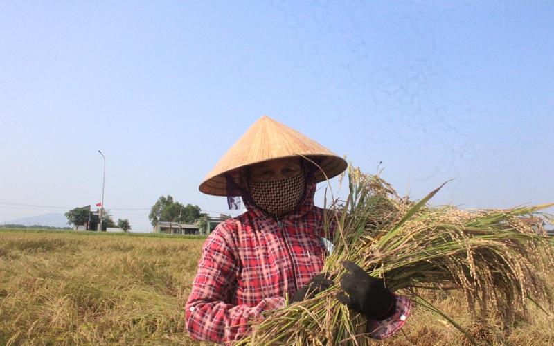 Hà Tĩnh: Có nhiều máy gặt đập liên hoàn, nhưng vì sao nhiều nông dân vẫn hứng gió Lào ra đồng gặt lúa bằng liềm?